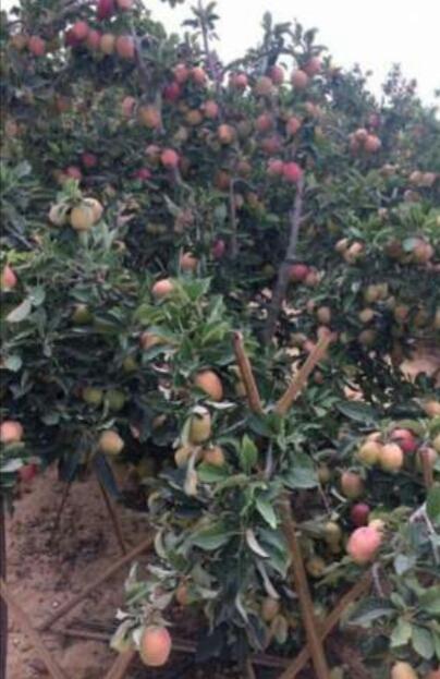 Buy quality African made Fruit seedlings by Wambugu apple